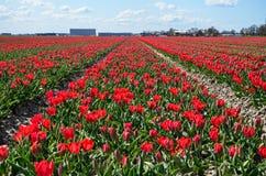 Rote Tulpefelder Stockbild