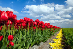 Rote Tulpen über blauem Himmel Lizenzfreie Stockbilder