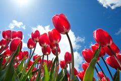 Rote Tulpen über blauem Himmel Lizenzfreies Stockfoto