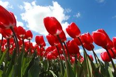 Rote Tulpen über blauem Himmel Stockfotografie