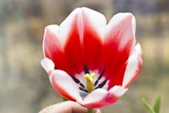 Rote Tulpen Stockfotografie