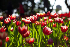 Rote Tulpen Stockfotos