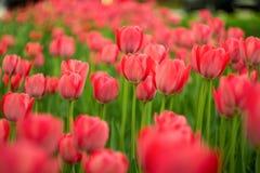 Rote Tulpen Lizenzfreies Stockbild