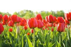 Rote Tulpen Stockfoto