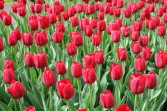 Rote Tulpen Lizenzfreie Stockbilder