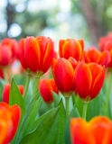 Rote Tulpen Stockbilder