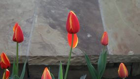 Rote Tulpen stock video footage