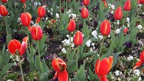 Rote Tulpen stock video