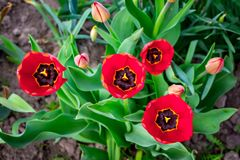 Rote Tulpen auf Blumenbeet, Draufsicht Ein Geschenk zu Ehren des holid stockfotografie
