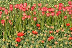 Rote Tulpen auf dem Blumenbeet Große Knospen von Tulpen Lizenzfreies Stockfoto