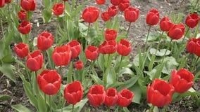 Rote Tulpen auf dem Wind im Garten stock video