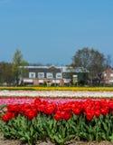 Rote Tulpen auf einem bebauten Blumengebiet Stockbild