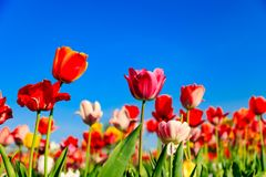 Rote Tulpen auf einem Feld mit blauem Himmel und Sonnenschein lizenzfreie stockfotos