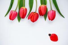 rote Tulpen auf einem weißen Hintergrund Stockfoto
