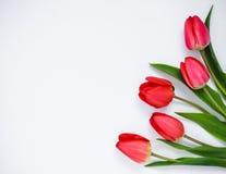rote Tulpen auf einem weißen Hintergrund Lizenzfreies Stockbild