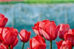 Rote Tulpen auf undeutlichem Hintergrund Stockbild