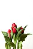Rote Tulpen auf weißem Hintergrund Stockbild