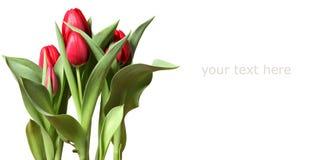 Rote Tulpen auf weißem Hintergrund Stockfotos