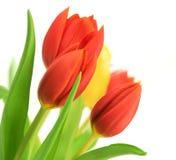 Rote Tulpen über Weiß Stockfoto