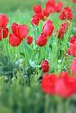 Rote Tulpen blüht auf einem Hintergrund der Nahaufnahme des grünen Grases Stockbild