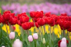 Rote Tulpen Bunte Jahreszeit der Tulpen im Frühjahr Stockbild
