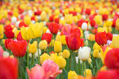 Rote Tulpen Bunte Jahreszeit der Tulpen im Frühjahr Stockfoto