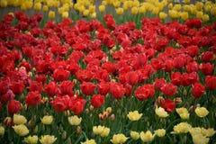 Rote Tulpen Bunte Jahreszeit der Tulpen im Frühjahr Lizenzfreies Stockbild
