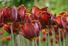 Rote Tulpen in den botanischen Gärten stockfotos