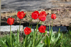 Rote Tulpen in der Blüte Lizenzfreie Stockfotos