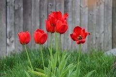 Rote Tulpen in der Blüte Lizenzfreies Stockfoto