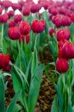 Rote Tulpen in der Show stockfotos