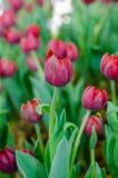 Rote Tulpen in der Show lizenzfreie stockfotos