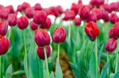 Rote Tulpen in der Show lizenzfreie stockbilder