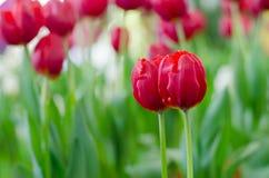 Rote Tulpen in der Show stockbilder