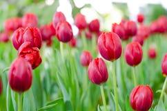 Rote Tulpen in der Show stockbild