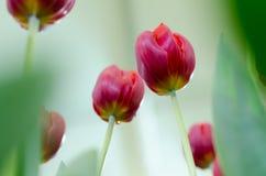 Rote Tulpen in der Show lizenzfreies stockbild