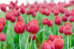 Rote Tulpen in der Show lizenzfreie stockfotografie