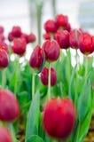 Rote Tulpen in der Show stockfoto