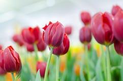 Rote Tulpen in der Show lizenzfreies stockfoto