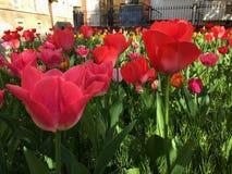 Rote Tulpen in der Stadt Lizenzfreie Stockfotografie