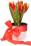 Rote Tulpen in einem Topf herum eingewickelt mit rotem Band Stockfotografie