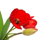 Rote Tulpen in einer Ecke Stockfotografie