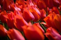 Rote Tulpen am Garten Stockfotografie