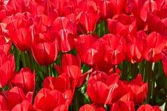 Rote Tulpen am Garten Fahne der Blumen-Background Kopieren Sie Platz Stockfotografie