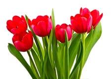 Rote Tulpen, getrennt Lizenzfreie Stockfotografie