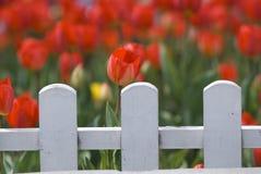 Rote Tulpen hinter weißem Zaun Lizenzfreies Stockfoto