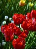 Rote Tulpen im Frühjahr Stockbild