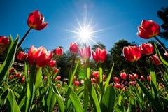 Rote Tulpen im Garten Stockbilder