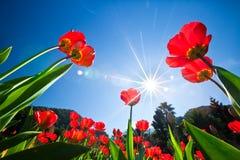 Rote Tulpen im sonnigen Himmel des Gartens Lizenzfreies Stockbild