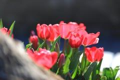 Rote Tulpen im Truthahn stockfoto